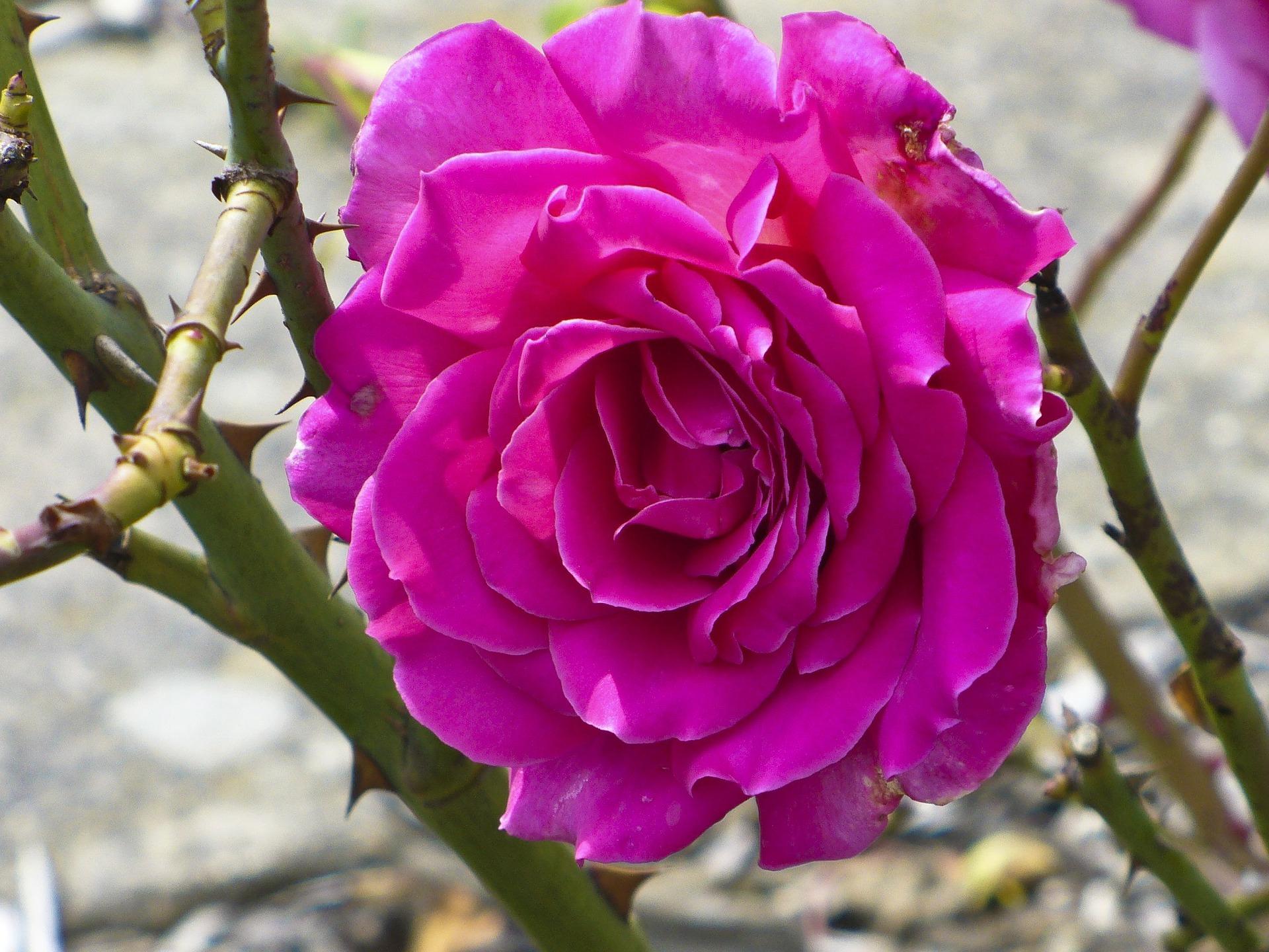 rose-83955_1920