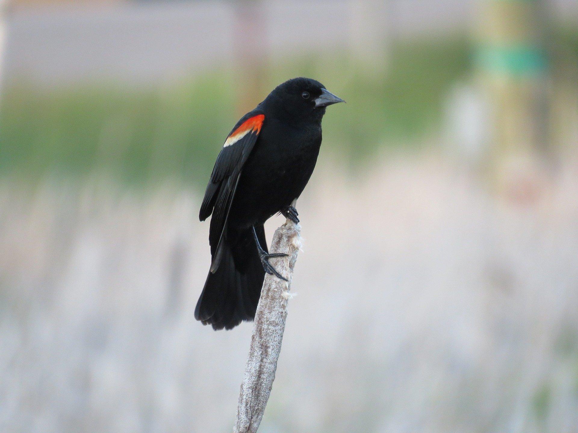 red-winged-blackbird-1427770_1920 (1)