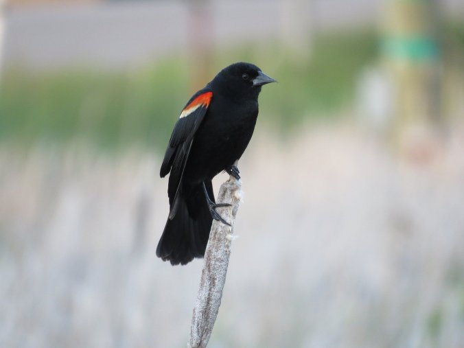 red-winged-blackbird-1427770_1920 (1)